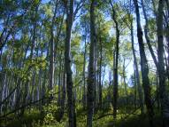 The aspen forest in early light
