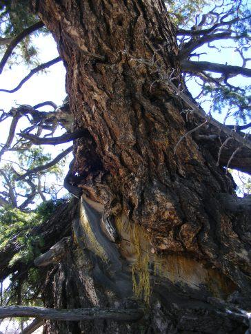 The ancient Douglas fir on Round Mountain