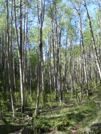 Aspen grove in North Gulch