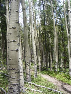 Aspen in the Right Hand of Needle Creek