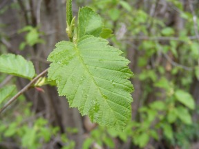 I am serious deficient when identifying deciduous trees; possibly an alder?