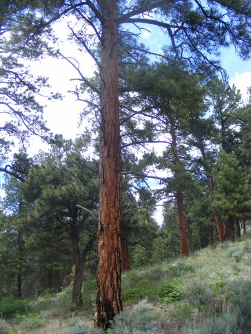 A fine ponderosa pine on the Right Hand of Needle Creek
