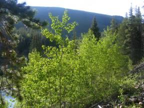 Aspen, still freshly verdant, in the late Spring of mid-June
