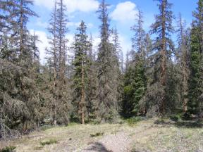 Some beetle killed trees in the Cochetopa Hills