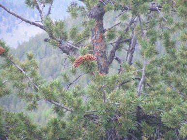 Definitive cones of the limber pine