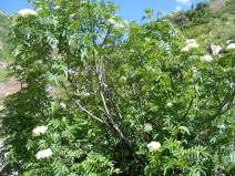 Possibly a Mountain Ash in Poverty Gulch