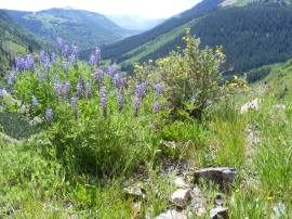 A Lupine and Potentilla above Poverty Gulch