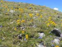 Wildflower garden on the slope of Crystal Peak