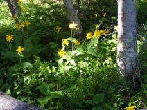 An Arnica, possibly cordifolia, along the Mill Lake Trail, No. 532