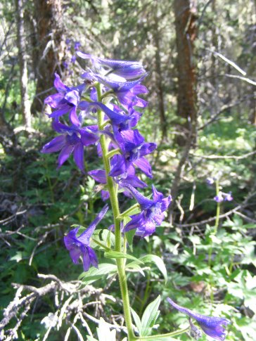 A Delphinium, this might be barbeyi, on the Mill Lake Trail, No. 532