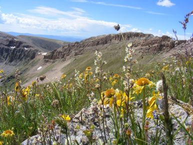 Wildflowers on Fossil Ridge, in the wilderness of the same name