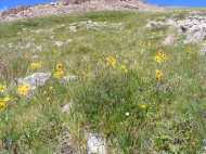 Alpine wildflowers below Square Top Mountain