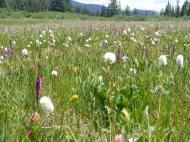 Sub-alpine meadow near Lamphier Lake