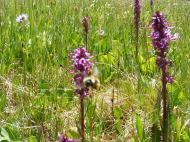 A pollinator busy at work near Lamphier Lake, in the Fossil Ridge Wilderness