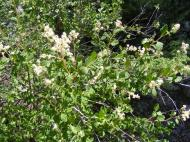 Shrub with abundance of white flowers on the Waterdog Trail