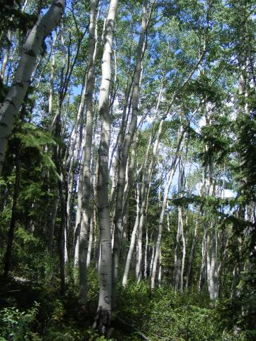 Aspen forest above Lake City on the Waterdog Trail