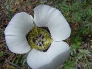 Calochortus gunnisonii, part of Liliaceae, near Horse Park