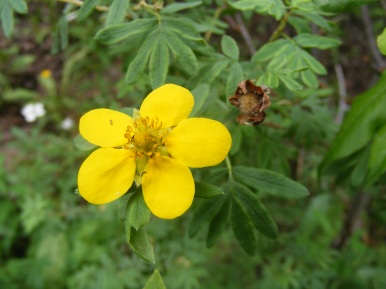 Maybe a shrubby cinquefoil, on Park Creek