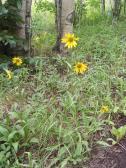 Sunflower garden on Park Creek, along the Waterdog Trail