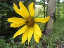 Possibly an Aspen Sunflower, or Helianthella quinquenervis, but positive identification of any Asteraceae is challenging