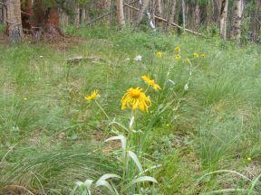 Sub-alpine wildflowers on Park Creek