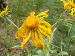 Possibly an orange sneezeweed, but, again, positive identification of Asteraceae is challenging