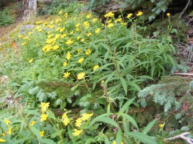 Looks like Arnica spp. (cordifolia?) and fireweed, part of Onagraceae