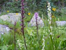 Flower garden near Timberline Lake: Bog Orchids are white, the pink are elephant heads, and there is an obvious yellow sunflower plus a less obvious mauve one of the same family