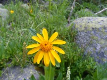 A sunflower that I am not sure which genus it belongs to, but certainly in the Aster Family, near Timberline Lake
