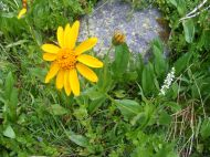 Sunflower and bog orchid, together at last, near Timberline Lake