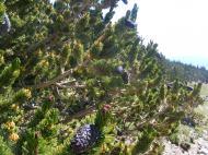 Bristlecone pine in Little Brown's Creek