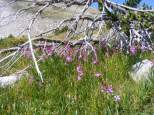 Fireweed among the bristlecone on Little Brown's Creek