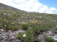 At the summit between Little Brown's and Brown's Creeks, yellow paintbrush and white bistort