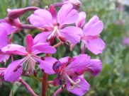 Close up of fireweed on Brown's Creek