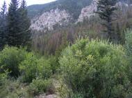 Willow near Brown's Creek