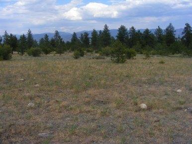 Ponderosa pine between Little Brown's and Brown's Creek