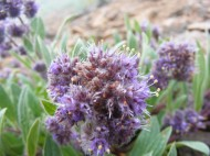 Possibly a Phacelia but I'm not sure and am at a loss as to its identity, on Road 906 south of Monarch Pass