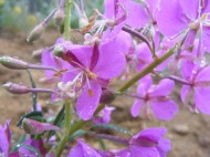 Fireweed, south of Monarch Pass on Gunnison National Forest Road 906
