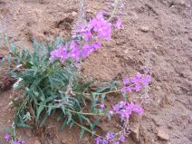 Fireweed near Monarch Pass, Chamerion spp. part of Onagraceae