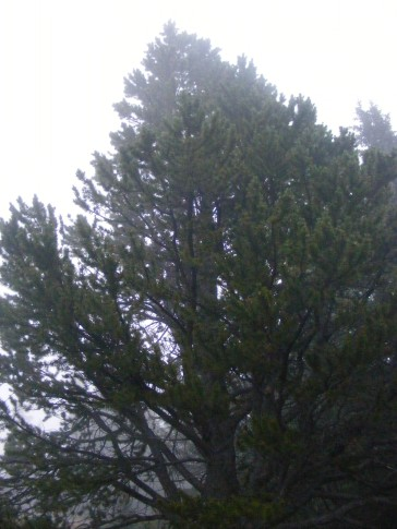 A conifer shrouded in mist