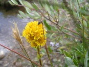 On Texas Creek, I'm not really sure but perhaps a goldenrod? Note the insect pollinator