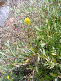 Mystery flower on Texas Creek, part of Asteraceae, however.