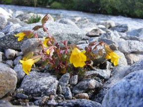 Mimulus spp. on Texas Creek, small and delicate