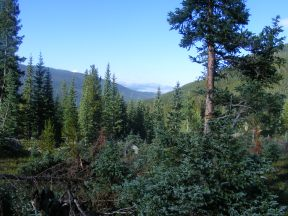 Thick forest in Waterloo Gulch, looking down towards Texas Creek