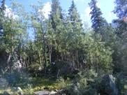 Aspen and conifer in Waterloo Gulch