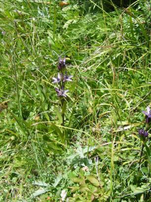 Purple blooms of a Star Gentian on Waterloo Gulch