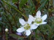 Probably Parnassia fimbriata, part of Parnassiaceae, on Texas Creek