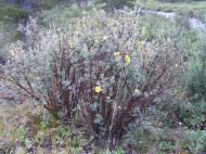 Probably Dasiphora fruticosa, shrubby cinquefoil, on Texas Creek, part of Rosaceae