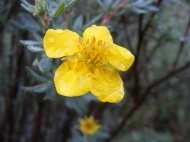 Shrubby cinquefoil, common plant in the high mountains, here on Texas Creek
