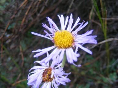 An Asteraceae on Texas Creek